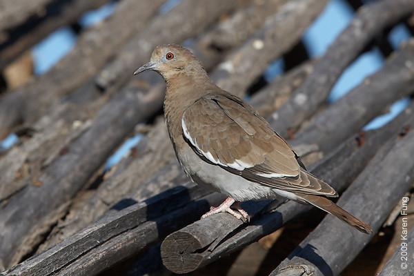 Nov 11th:  White-winged Dove near the Visitors Center