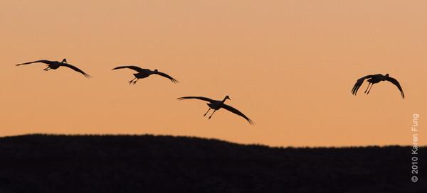 7 December:  Sandhill Cranes landing, Bosque del Apache, NM