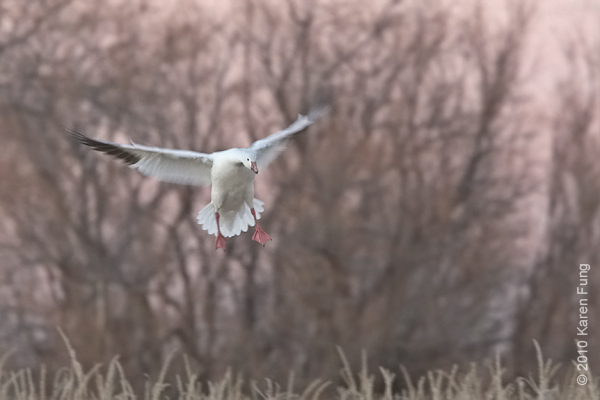 2 December:  Snow Goose landing in pink light, Bosque del Apache, NM