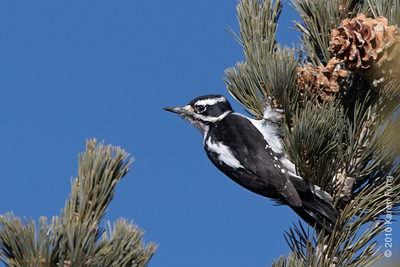 9 December: Female Hairy Woodpecker, Sandia Crest, New Mexico