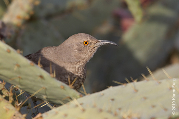 6 December: Curve-billed Thrasher at Bosque del Apache, NM