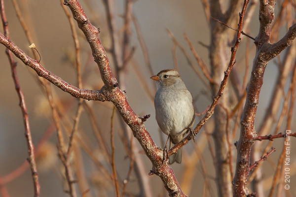 5 December: White-crowned Sparrow, New Mexico