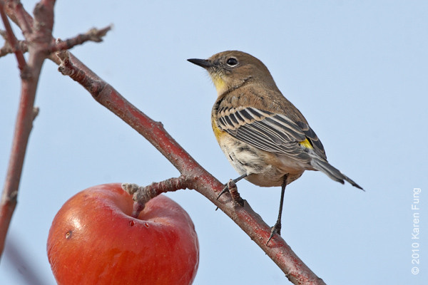 3 December: Yellow-rumped Warbler (Audubon's race) in Jana and Jim's apple orchard in New Mexico