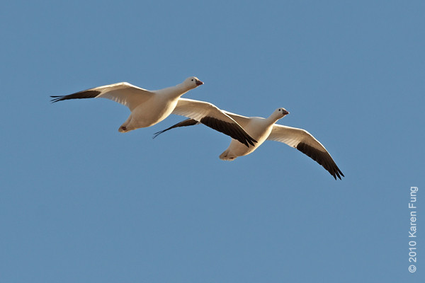 6 December: A pair of Ross's Geese, Bosque del Apache, NM