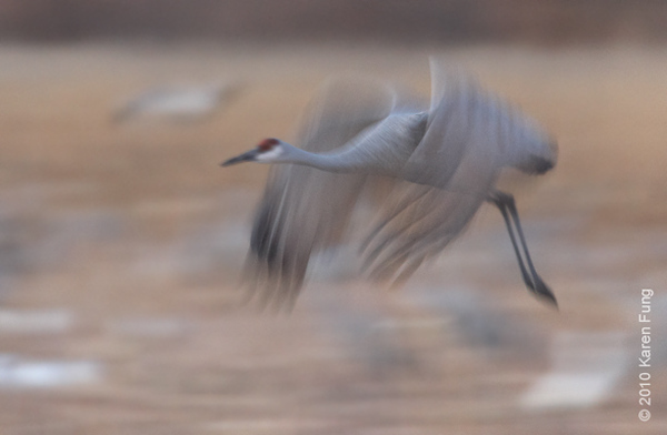 2 December:  Sandhill Crane at dusk, Bosque del Apache, NM
