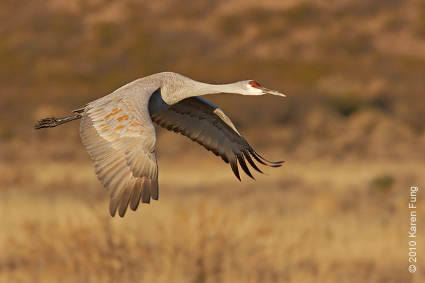 4 December:  Sandhill Crane shortly after sunrise, Bosque del Apache, NM