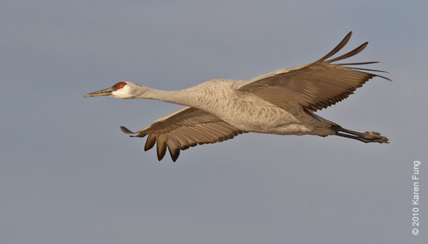 6 December: Sandhill Crane in flight, Bosque del Apache, NM