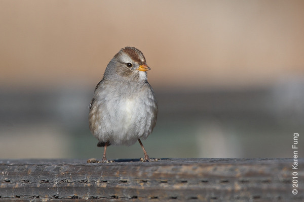 8 December:  White-crowned Sparrow, Bosque del Apache, NM