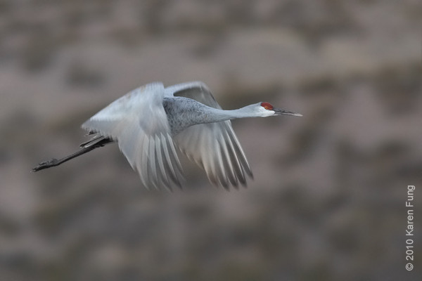 8 December:  Sandhill Crane at dawn, Bosque del Apache, NM