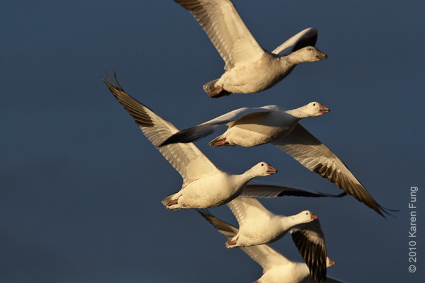 6 December: Snow and Ross's Geese at Bosque del Apache, NM
