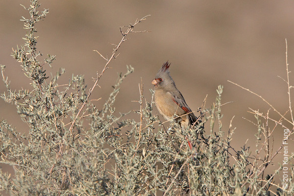 Female Pyrrhuloxia, Bosque Del Apache, NM.  This bird is related to our Northern Cardinal.