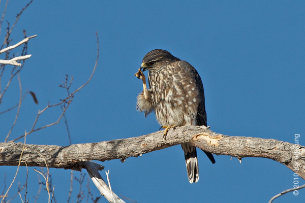 2 December: Merlin preening at Bosque del Apache, NM
