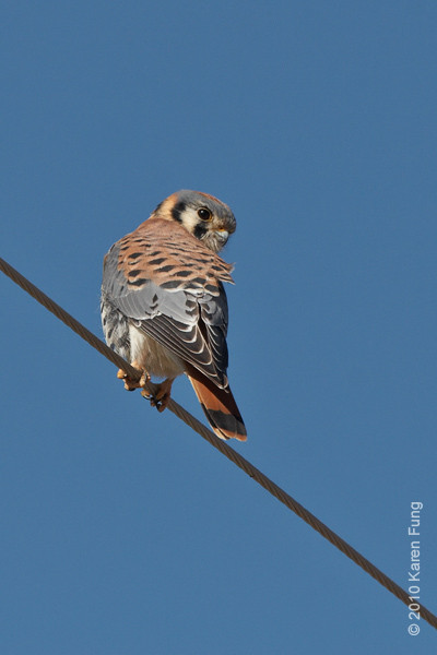 2 December: American Kestrel, New Mexico