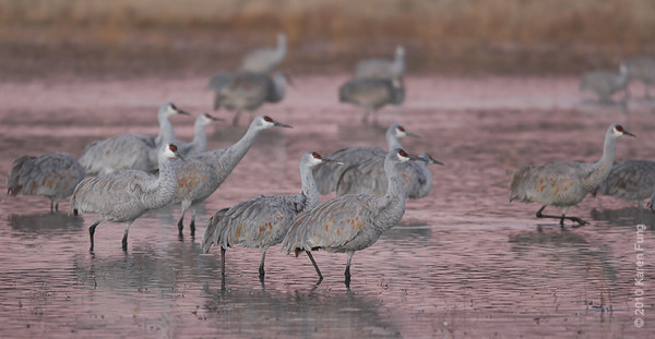 3 December: Sandhill Cranes in pre-dawn light, Bosque Del Apache, NM
