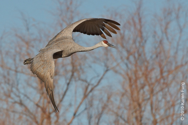 2 December:  Sandhill Crane taking off, Bosque del Apache, NM