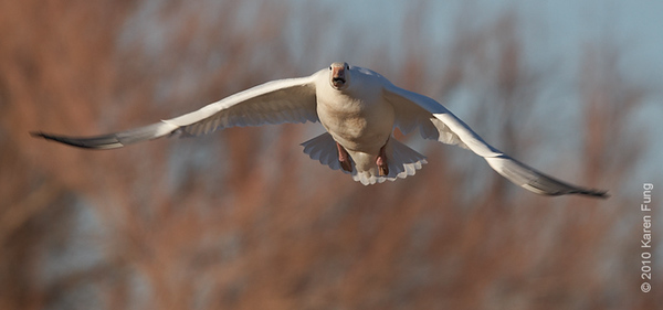 2 December:  Snow Goose taking off, Bosque del Apache, NM