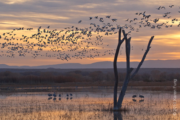 6 December:  Snow Geese flyout at dawn, Bosque del Apache, NM