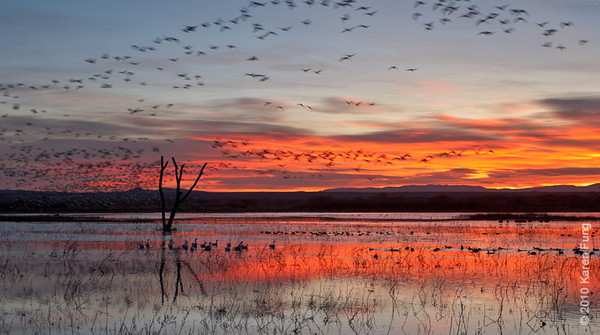 9 December:  Snow Geese flyout at dawn, Bosque del Apache, NM