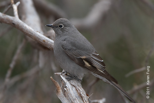 2 December: Townsend's Solitaire in Cedar Crest,  NM