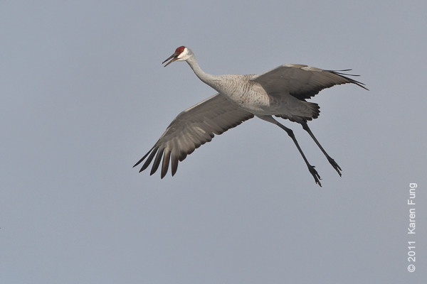 3 December: Sandhill Crane at dawn at  Bosque del Apache, NM