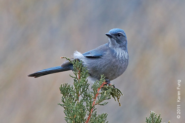 2 December: Western Scrub-Jay in Cedar Crest,  NM