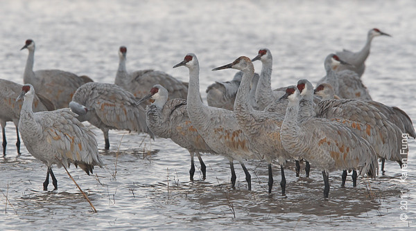 3 December: Sandhill Cranes at Bosque del Apache