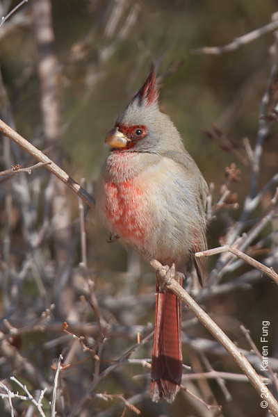4 December: Pyrrhuloxia at Bosque del Apache, NM