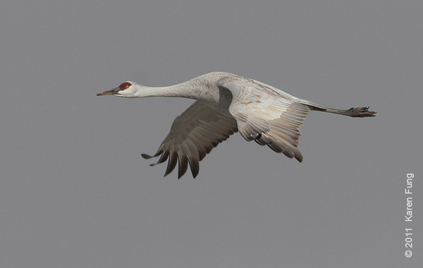 3 December: Sandhill Crane at Bosque del Apache, NM