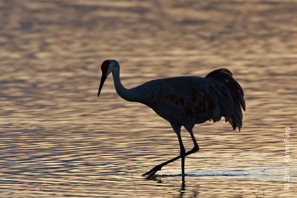 4 December: Sandhill Crane at dusk at  Bosque del Apache, NM