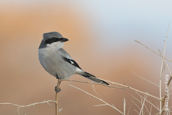 4 December: Loggerhead Shrike along Rte 1 at Bosque del Apache, NM
