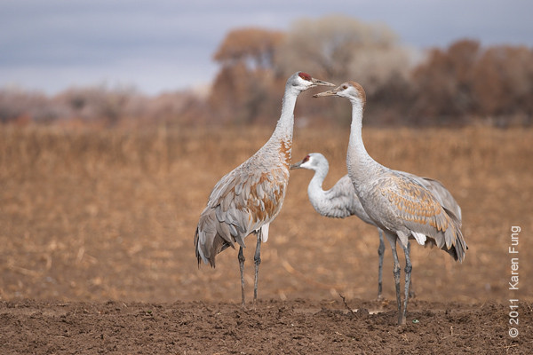 3 December: Sandhill Cranes at  Bosque del Apache, NM