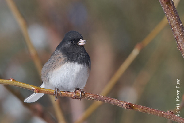 6 December:  Dark-eyed Junco in San Antonio, NM