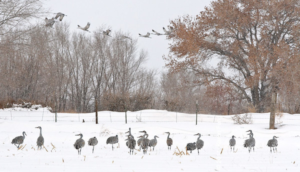 5 December: Sandhill Cranes in the snow in San Antonio, NM