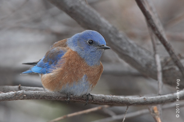 2 December: Western Bluebird in Cedar Crest, NM