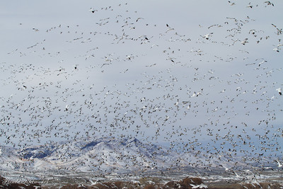 Bosque del Apache December 2013-3