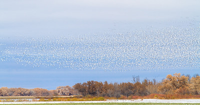 Bosque del Apache December 2013-9