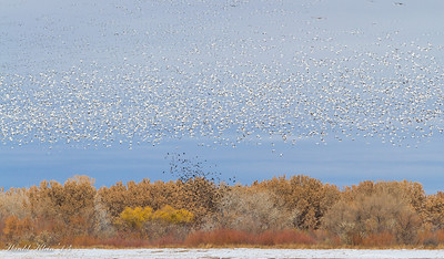 Then this flock showed up from afar…with a flock of black birds below just for interest...