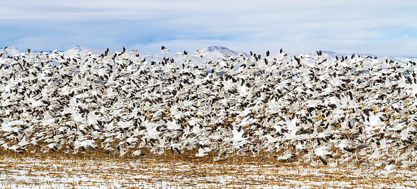 Bosque del Apache December 2013-20