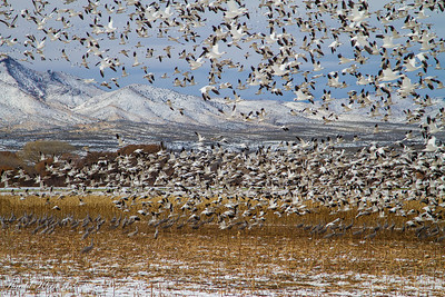 Bosque del Apache December 2013-15
