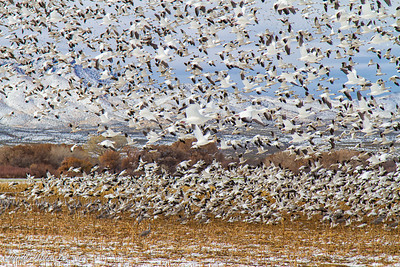Bosque del Apache December 2013-14
