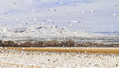 Bosque del Apache December 2013-19