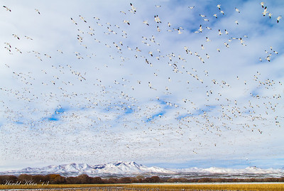 Bosque del Apache December 2013-17