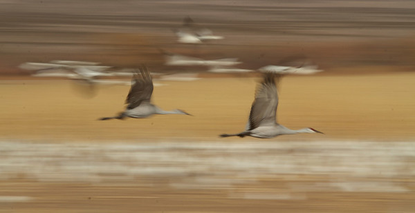 The cranes may seem ungainly on the ground, but once airborne, wow!! can they move!!!  Tracking them at this speed with a big lens was a real challenge...again, the blur can convey the sense of speed.