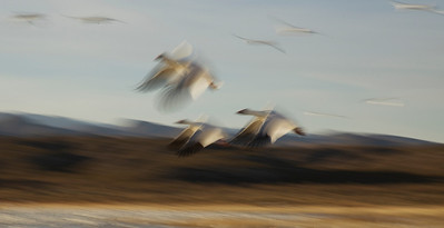Isolated blur of a few snow geese