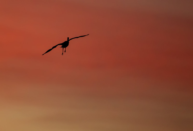 A Sandhill Crane banks through the red sky on its way to the evening roost