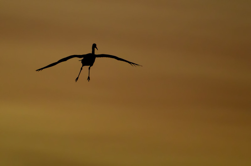 A lone Sandhill Crane approaches the evening roost