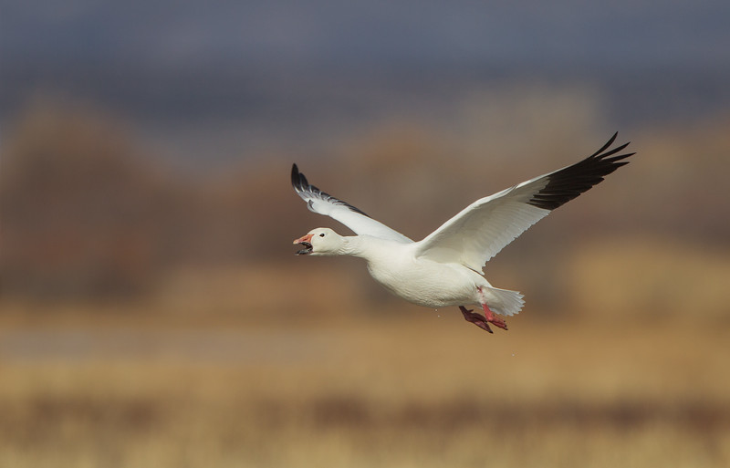 Vocal white morph Snow Goose shortly after take-off...still dripping a bit