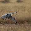 Adult Sandhill Crane on final approach in fading late afternoon light