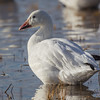 Adult white morph Snow Goose
