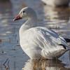 Adult white morph Snow Goose